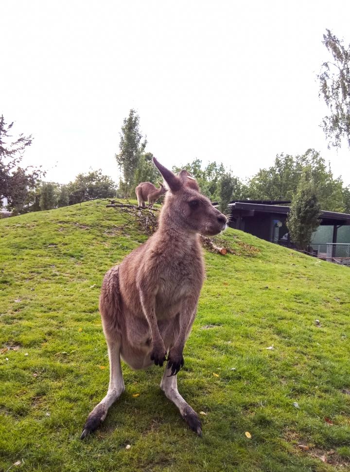 copenhagen zoo kangaroo